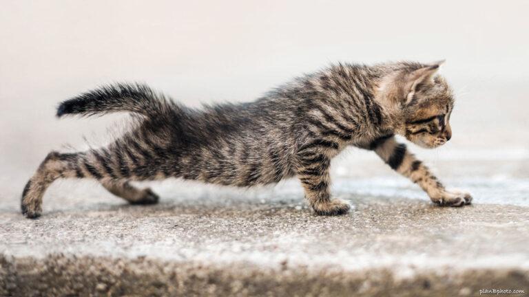 Cute tabby kitten with stripes