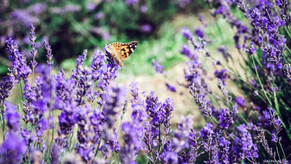 Orange butterfly sitting on lavender flowers