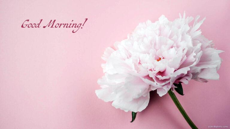 Pink peony Good Morning image