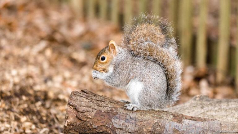 Grey squirrel in Autumn on a tree stump