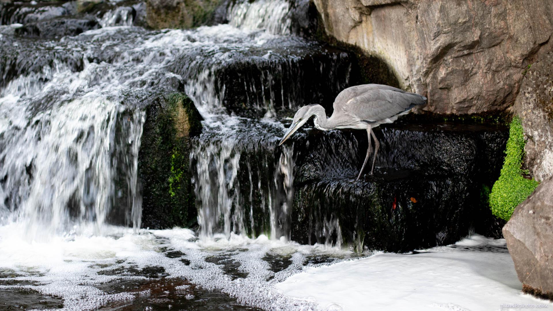 Heron bird near a small waterfall looking foe fish