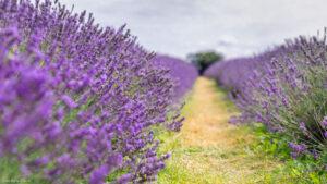 Purple Lavender flower rows