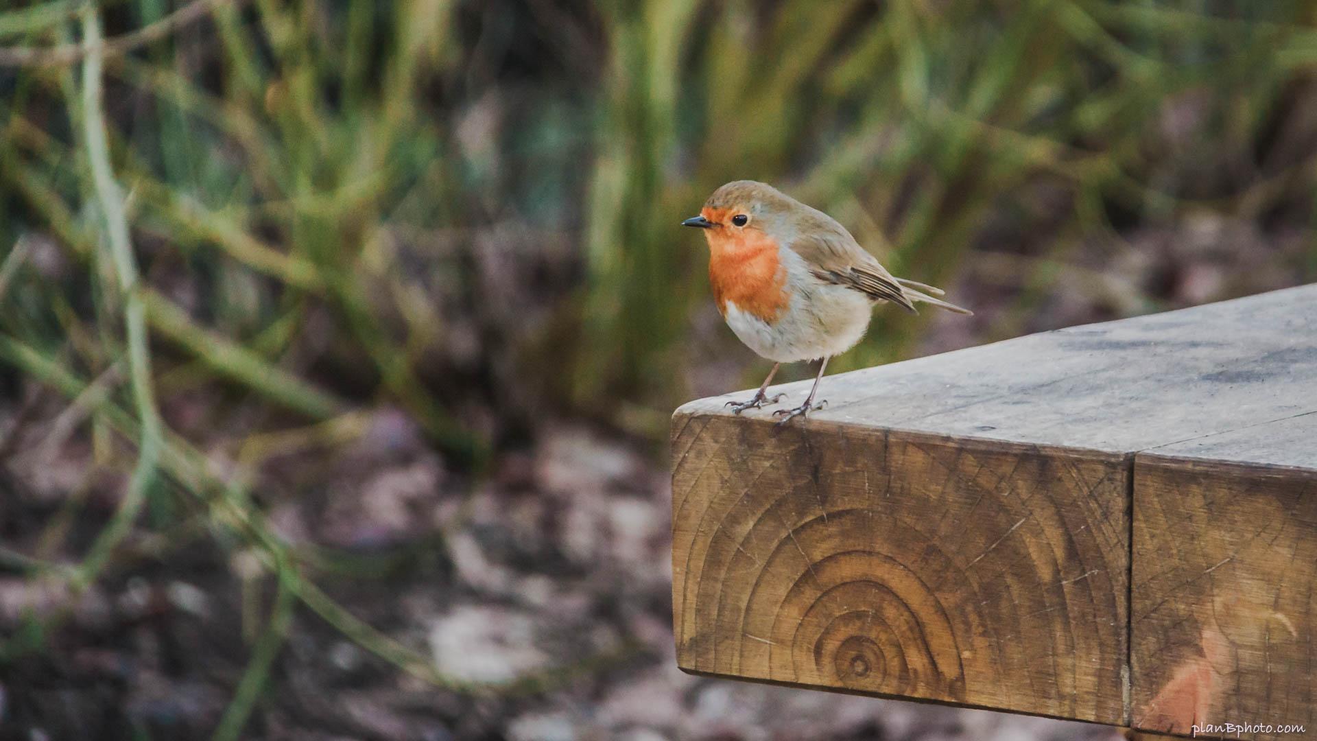 English Robin bird