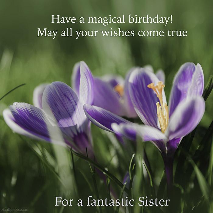 Sister birthday wish with purple spring flowers